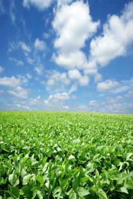 Agrarwirtschaft - Sojabohnen werden jetzt auch in Europa angebaut