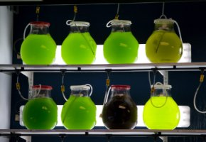 Algenkraftstoff im Labor