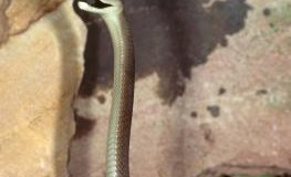 Eine schwarze Mamba hat sich aufgerichtet - die Schlange ist bereit zum Angriff
