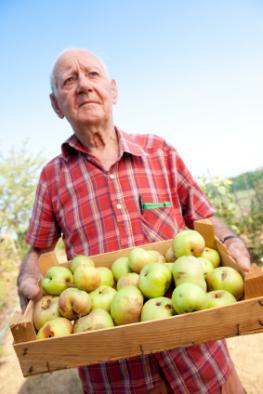 Senior mit einer Steige Äpfel in den Händen