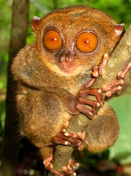 Tarsier - Artenschutz für bedrohte Tierarten