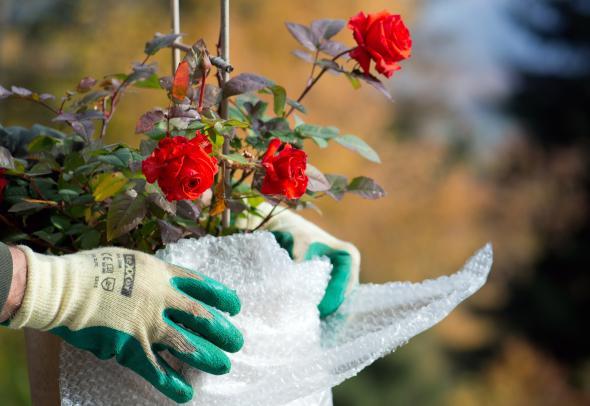 Kubelpflanzen Vor Dem Ersten Frost Winterfest Machen Artikelmagazin