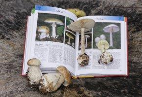Pilzbestimmung Knollenblätterpilz durch ein Buch