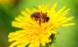 Biene auf Löwenzahnblüte - Bioland fordert Bienenschutz