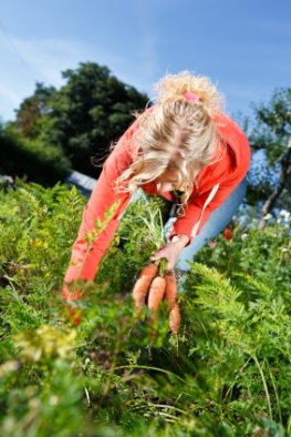 Bio-Garten - frische Karotten ernten