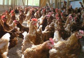 Bio-Hühner in einer Halle