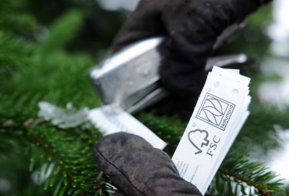 Förster Eckhard Kropla befestigt eine Baumbanderole mit dem Naturland- und FSC-Siegel.