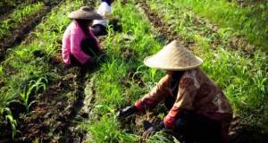 Arbeiterinnen auf dem Reisfeld bei der Arbeit