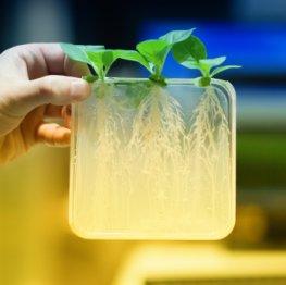 Biotechnologie: Pflanzen im Forschungslabor