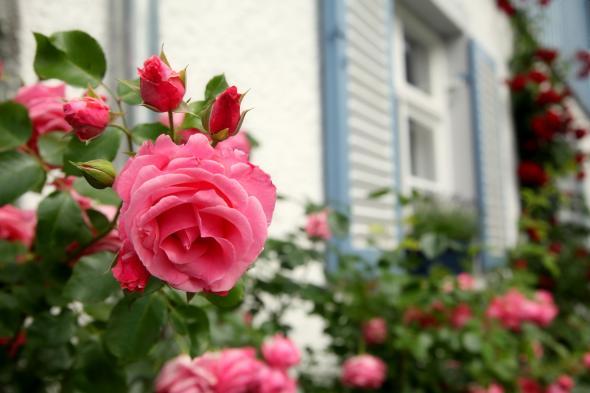 Rosen in der Blütezeit: Doch Vorsicht, Rosen brauchen auch viel Pflege.