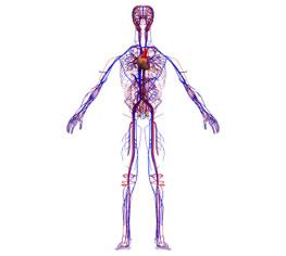 Durchblutungsstörungen: Blutkreislauf des menschlichen Körper