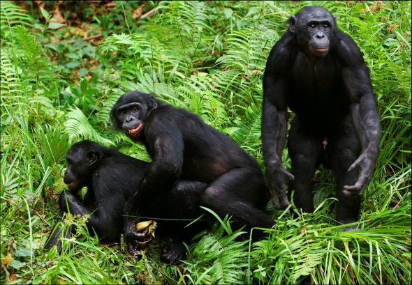 Bonobo Affen lösen Konflikte mit Sex.