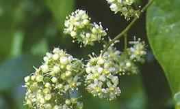 Chinesische-Kletterpflanze - Wilfords Dreiflügelfrucht