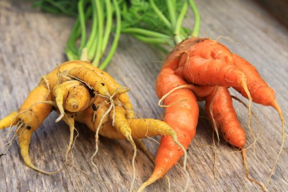 Culinary misfits: Obst und Gemüse das verwachsen ist, landet oft auf dem Müll oder dient als Tierfutter.