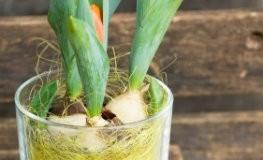 Deko-Ideen Tulpen: Blumenzwiebel im Glas