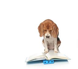 Der Beagle ist ein intelligenter Jagdhund