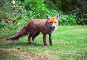 Der Fuchs überträgt den Fuchsbandwurm