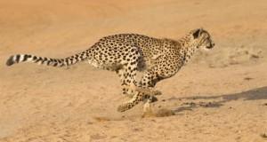Niemand ist so schnell wie ein Gepard.