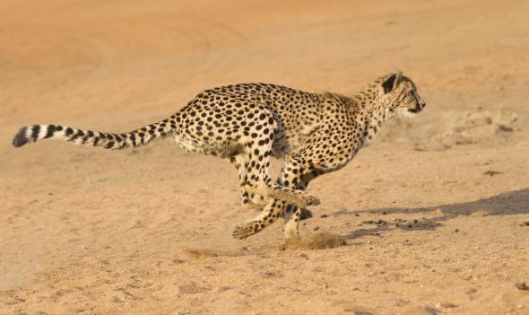 Kein anderes Tier ist so schnell wie ein Gepard.