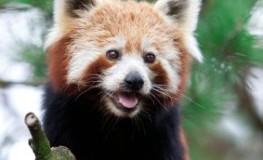 Der rote Panda steht auf der Roten Liste für gefährdete Tierarten