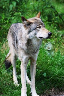 Der Wolf ist wieder heimisch in Deutschland