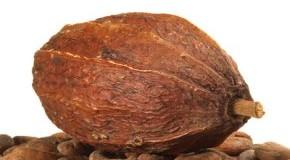 Die Kakaofrucht und Kakaobohnen