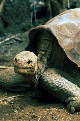 Die Riesenschildkröte Lonesome George ist gestorben