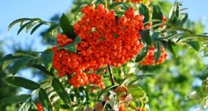 Die Eberesche und ihre Beeren enthalten viele Vitamine.