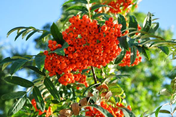 Die Eberesche und ihre Beeren enthalten gesunde Vitamine.
