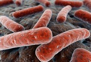 EHEC-Bakterien unter dem Mikroskop
