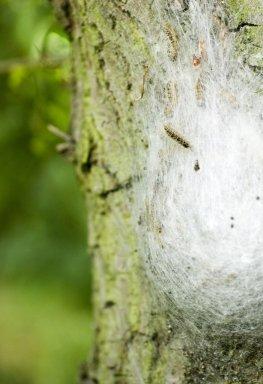 Gespinstnest - Eichenprozessionsspinner auf einer Eiche