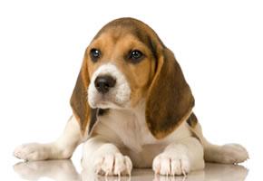 Ein junger Beagle