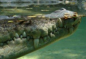 Ein Krokodil lauert unter der Wasserdecke