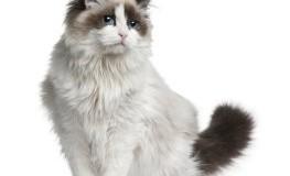 Eine Ragdoll-Katze mit wunderschöner Zeichnung