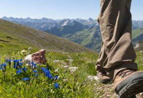 Enzianblüte in den Alpen