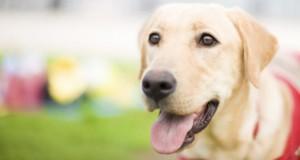 Epilepsiehunde retten dem Menschen das Leben.