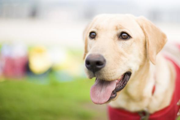 Epilepsiehunde retten Menschen das Leben.