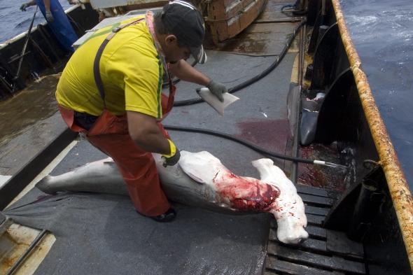 Fischer schneidet einem Hammerhai die Flossen ab
