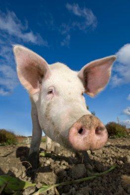 Fleisch mit Gesicht - ein Schwein vom Bio-Bauernhof