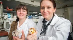 Dr. Alesia A. Tietze und Prof. Dr. Diana Imhof untersuchten das Nervengift (Conotoxin µ-PIIIA) der Kegelschnecke (Conidae)