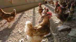Freilandhaltung von Hühnern