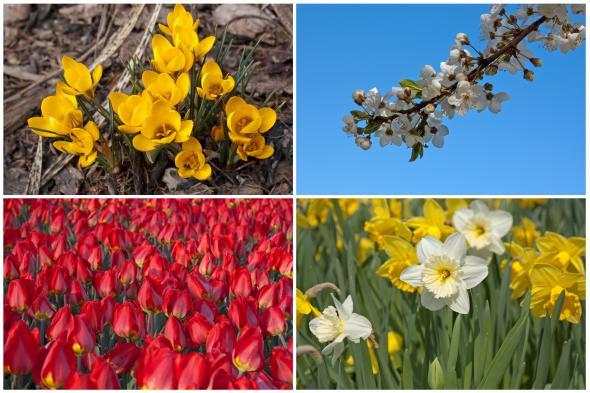 Sie kündigen den Frühling an: Krokusse, Tulpen und Narzissen.