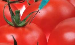 Gen-Food - Genmanipulierte Tomaten als Nahrungsmittel der Zukunft