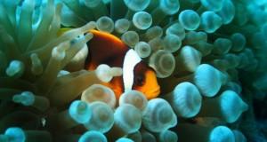 Anemonenfisch versteckt sich zwischen einer giftigen Seeanemone. Bild: © fotolia.de