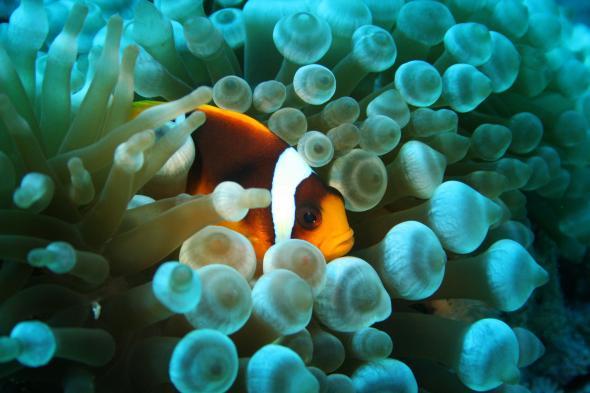 Anemonenfisch versteckt sich zwischen einer giftigen Seeanemone.
