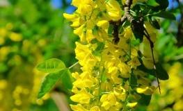 Giftpflanze: Goldregen (Laburnum) ist für Kinder giftig