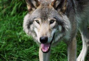 Isegrim: Grauer Wolf in freier Natur