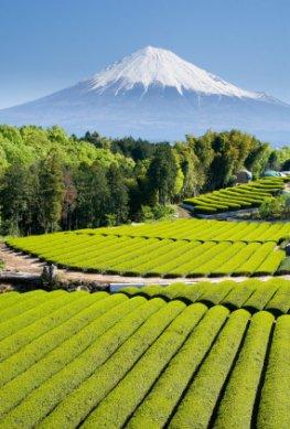 Grüner Tee Felder am Fuße des Fujiyama