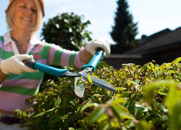 Heckenschnitt: Die Hecke wird im Frühjahr und im Spätsommer zugeschnitten.
