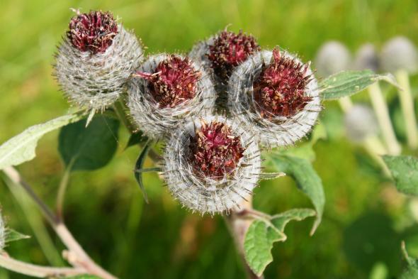 Die Klette als Heilpflanze ist schon seit dem Altertum bekannt.